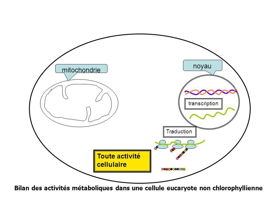 Toute activité cellulaire mitochondrie noyau Traduction transcription Bilan des activités métaboliques dans une cellule eucaryote non chlorophyllienne