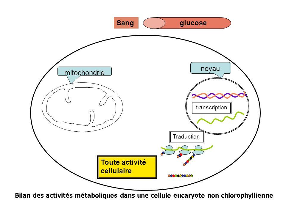 Toute activité cellulaire mitochondrie noyau Traduction transcription glucoseSang glucose Bilan des activités métaboliques dans une cellule eucaryote non chlorophyllienne