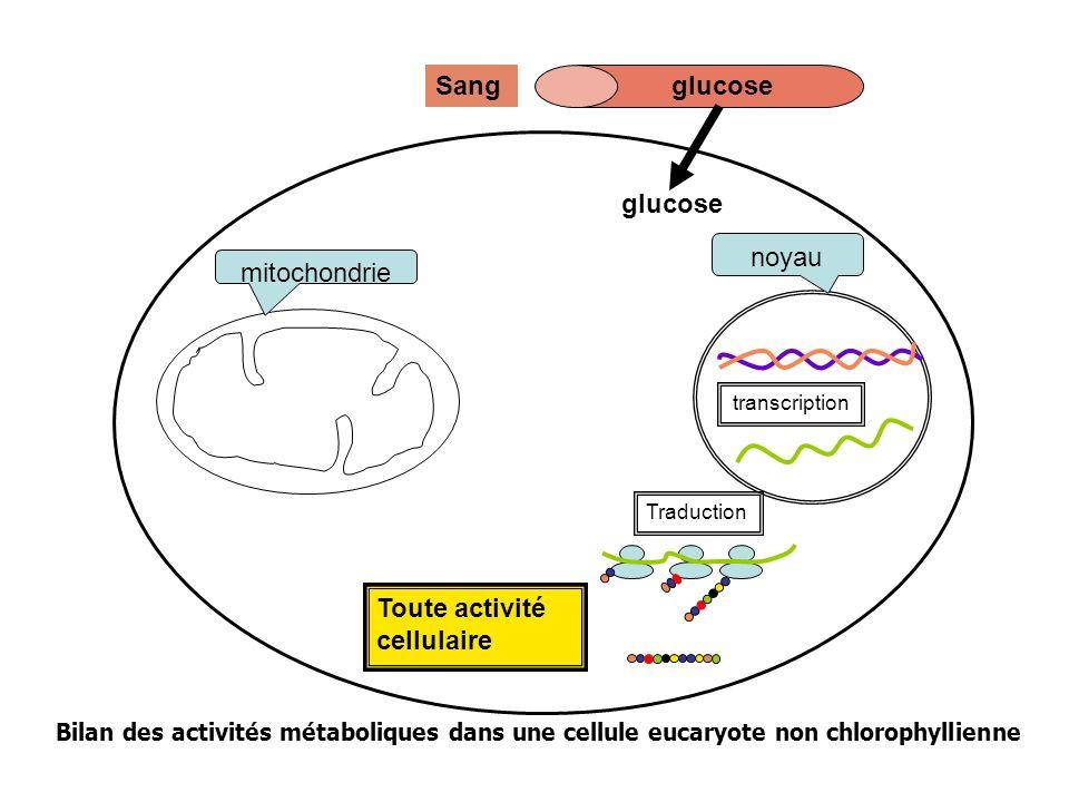 Toute activité cellulaire mitochondrie noyau Traduction transcription glucoseSang glucose pyruvate Glycolyse Bilan des activités métaboliques dans une cellule eucaryote non chlorophyllienne