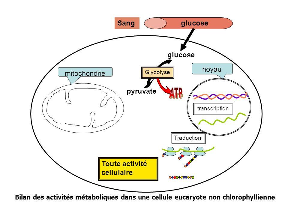 Toute activité cellulaire mitochondrie noyau Traduction transcription glucoseSang glucose pyruvate Glycolyse Molécules organiques Bilan des activités métaboliques dans une cellule eucaryote non chlorophyllienne