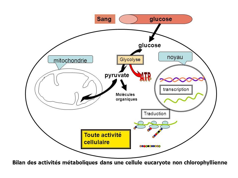 Toute activité cellulaire mitochondrie noyau Traduction transcription glucoseSang glucose pyruvate Glycolyse Molécules organiques Bilan des activités