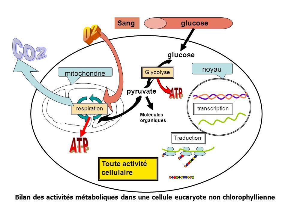 Toute activité cellulaire mitochondrie noyau Traduction transcription glucoseSang glucose pyruvate Glycolyse Molécules organiques respiration Bilan de