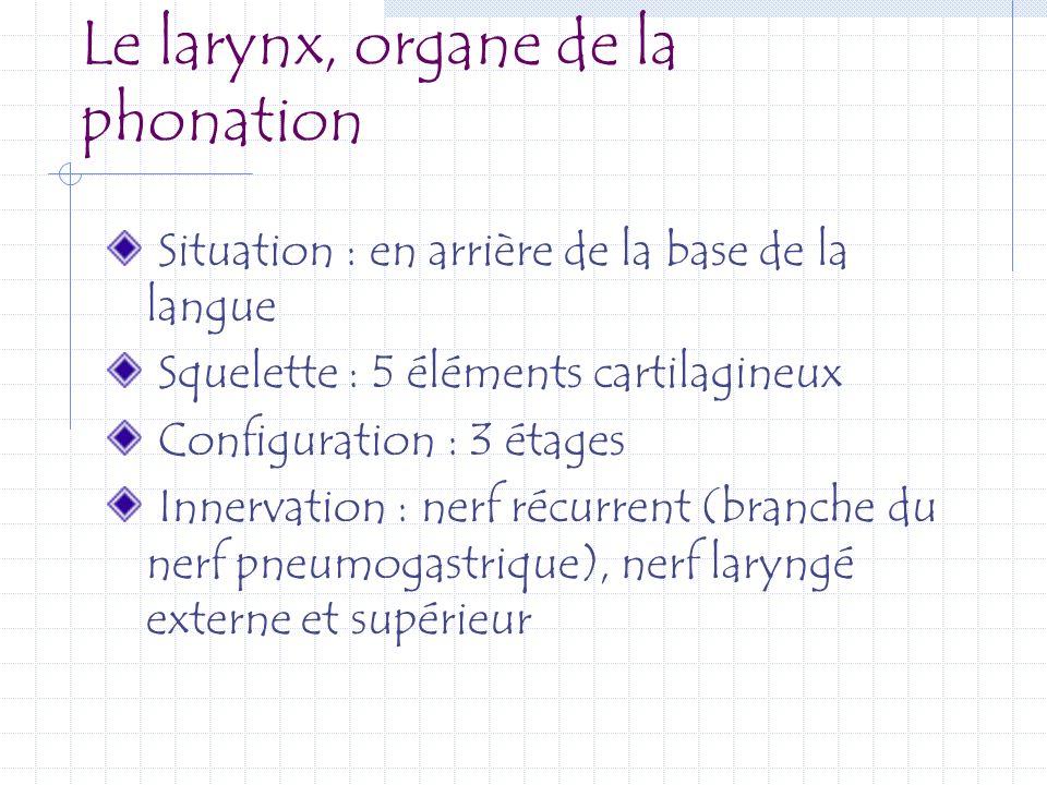 Le larynx, organe de la phonation Situation : en arrière de la base de la langue Squelette : 5 éléments cartilagineux Configuration : 3 étages Innerva