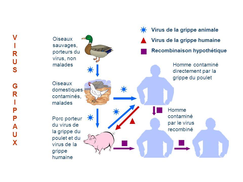 VIRUSGRIPPAUXVIRUSGRIPPAUX Homme contaminé par un autre homme Oiseaux sauvages, porteurs du virus, non malades Oiseaux domestiques contaminés, malades