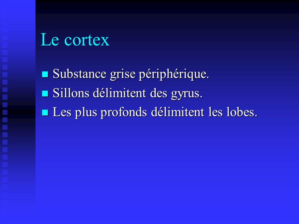 Le cortex Substance grise périphérique. Substance grise périphérique. Sillons délimitent des gyrus. Sillons délimitent des gyrus. Les plus profonds dé