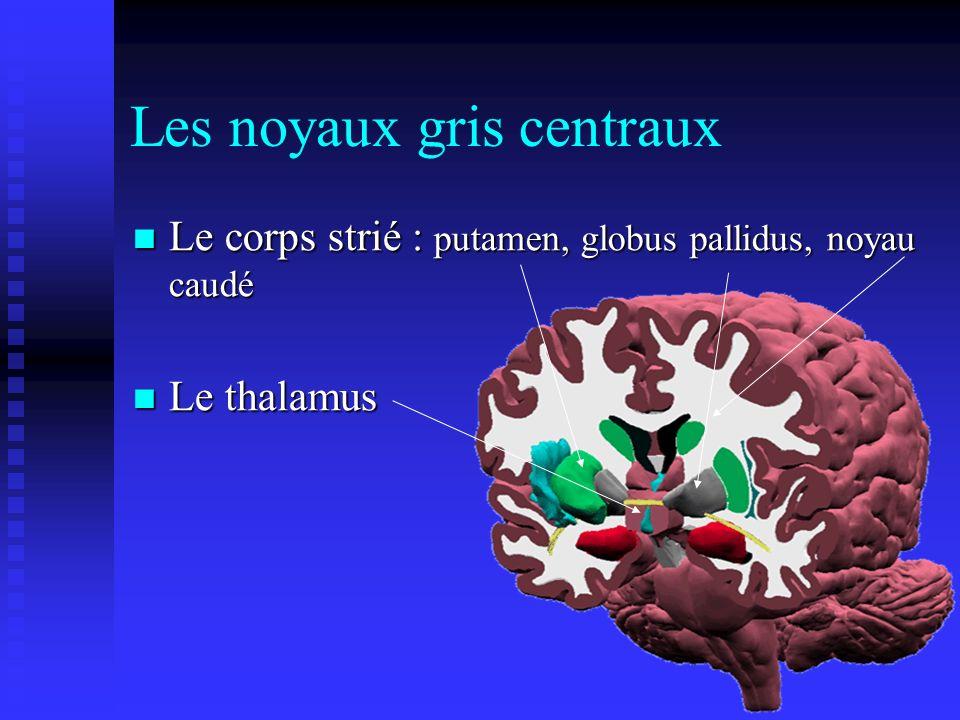 Les noyaux gris centraux Le corps strié : putamen, globus pallidus, noyau caudé Le corps strié : putamen, globus pallidus, noyau caudé Le thalamus Le