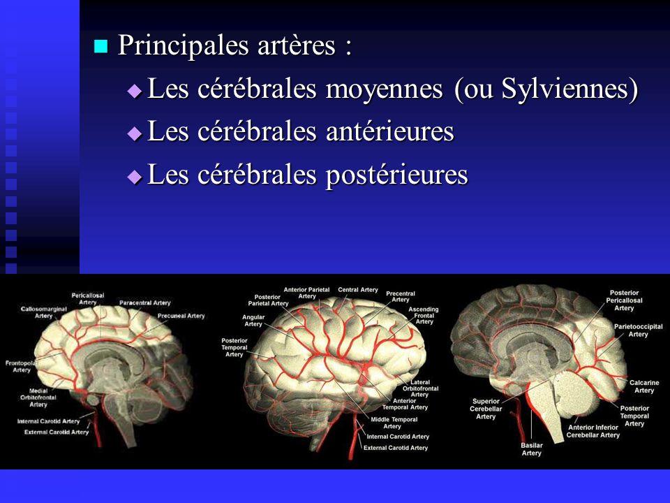 Principales artères : Principales artères : Les cérébrales moyennes (ou Sylviennes) Les cérébrales moyennes (ou Sylviennes) Les cérébrales antérieures