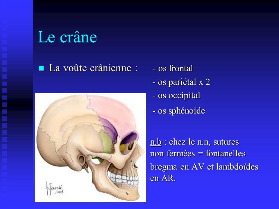 Le crâne La voûte crânienne : - os frontal La voûte crânienne : - os frontal - os pariétal x 2 - os pariétal x 2 - os occipital - os occipital - os sp