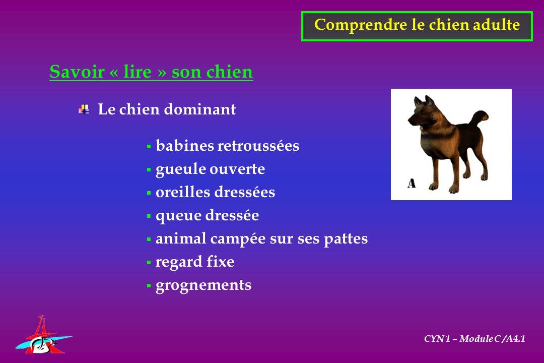 CYN 1 – Module C /A4.1 Savoir « lire » son chien Comprendre le chien adulte Le chien dominant babines retroussées gueule ouverte oreilles dressées que