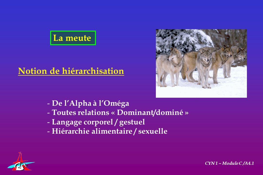 La meute CYN 1 – Module C /A4.1 Notion de hiérarchisation - De lAlpha à lOméga - Toutes relations « Dominant/dominé » - Langage corporel / gestuel - H