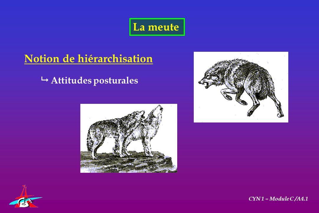 La meute CYN 1 – Module C /A4.1 Notion de hiérarchisation Attitudes posturales