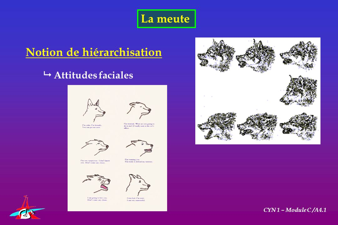 CYN 1 – Module C /A4.1 Comprendre le chien adulte Les comportements normaux du chien Comportements dagression Agression prédatrice Déclenchée par la faim Agression hiérarchisée Remise en cause des prérogatives de dominant Agression par peur Impossibilité de fuite
