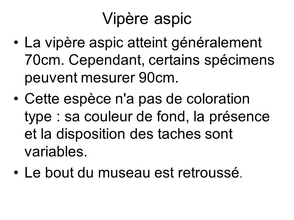 Vipère aspic La vipère aspic atteint généralement 70cm.