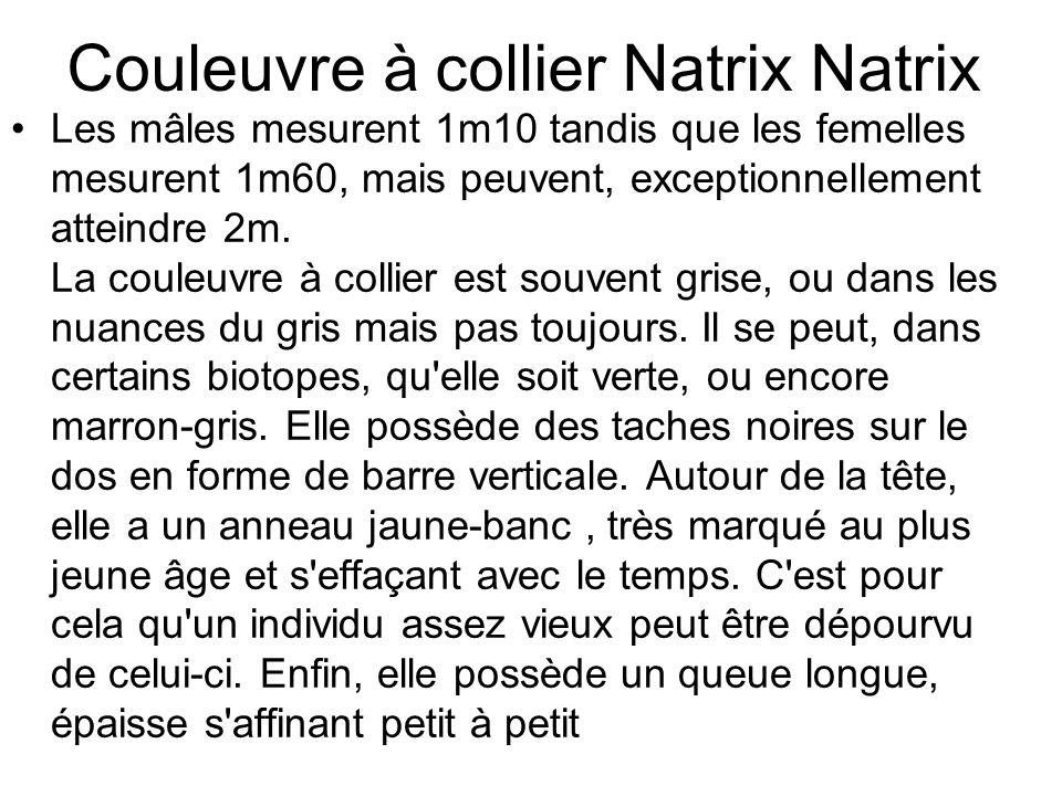 Couleuvre à collier Natrix Natrix Les mâles mesurent 1m10 tandis que les femelles mesurent 1m60, mais peuvent, exceptionnellement atteindre 2m.