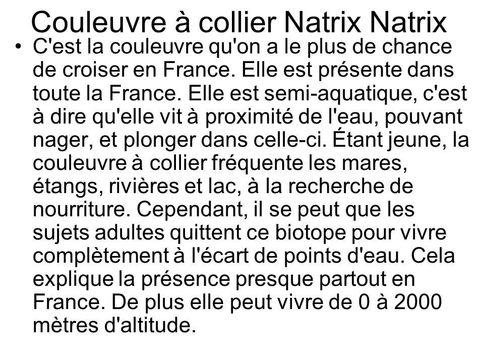 Couleuvre à collier Natrix Natrix C est la couleuvre qu on a le plus de chance de croiser en France.