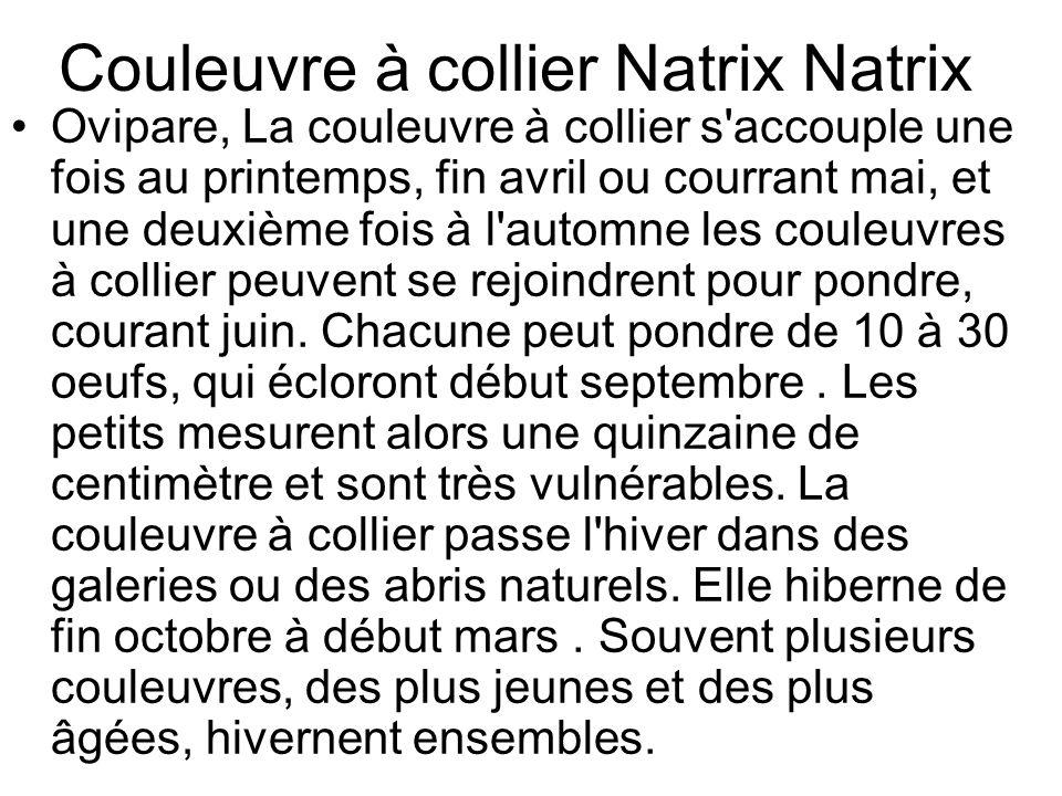Couleuvre à collier Natrix Natrix Ovipare, La couleuvre à collier s accouple une fois au printemps, fin avril ou courrant mai, et une deuxième fois à l automne les couleuvres à collier peuvent se rejoindrent pour pondre, courant juin.