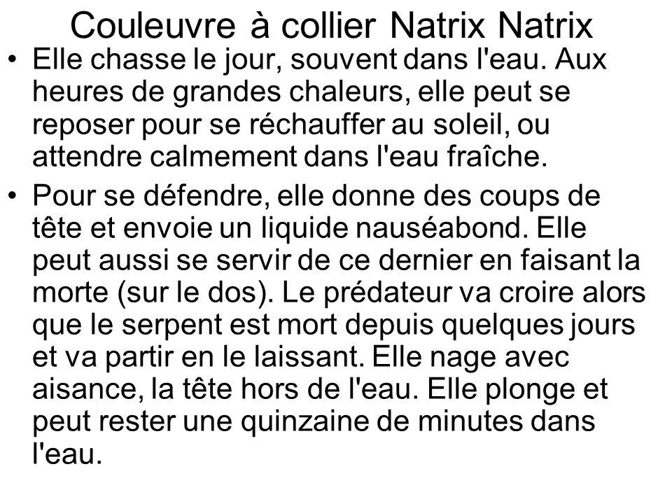 Couleuvre à collier Natrix Natrix Elle chasse le jour, souvent dans l eau.