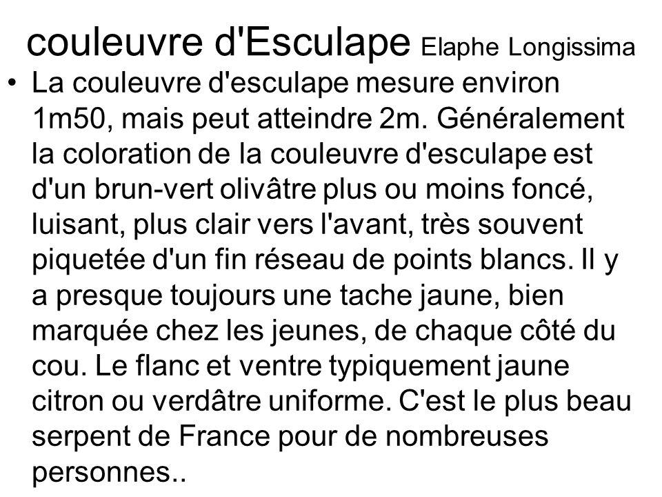 couleuvre d Esculape Elaphe Longissima La couleuvre d esculape mesure environ 1m50, mais peut atteindre 2m.