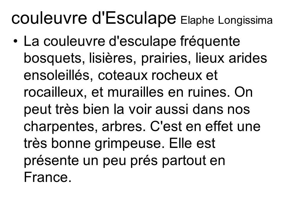 couleuvre d Esculape Elaphe Longissima La couleuvre d esculape fréquente bosquets, lisières, prairies, lieux arides ensoleillés, coteaux rocheux et rocailleux, et murailles en ruines.
