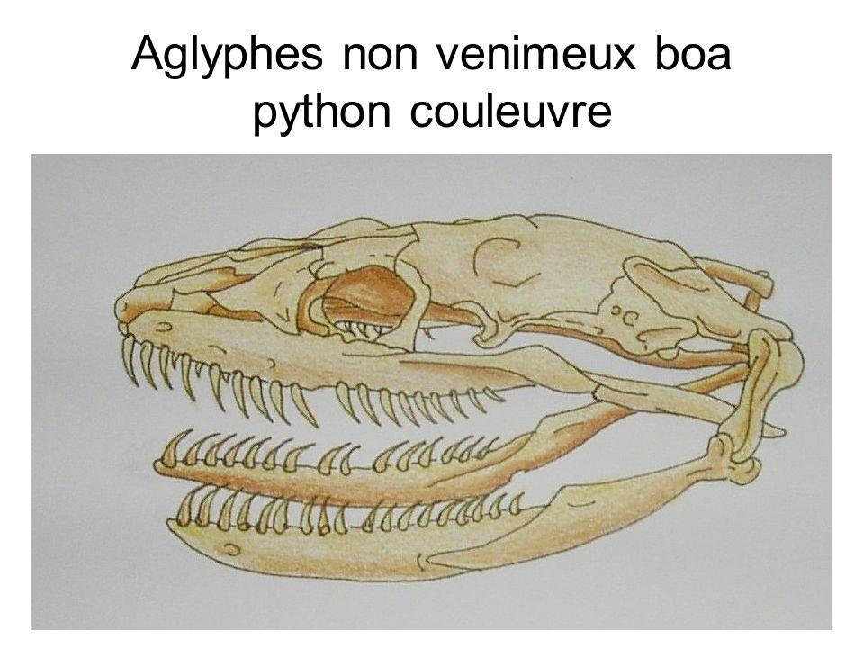Aglyphes non venimeux boa python couleuvre