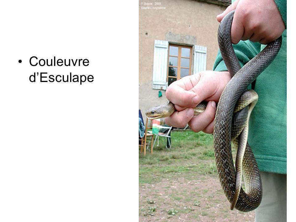 Couleuvre dEsculape