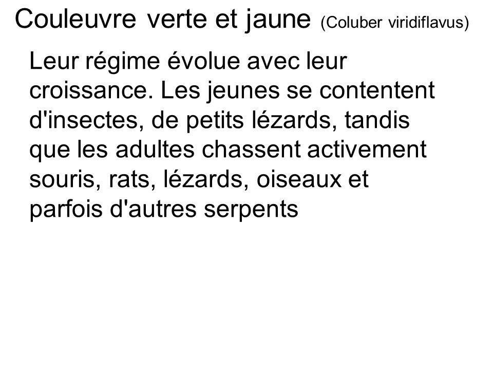 Couleuvre verte et jaune (Coluber viridiflavus) Leur régime évolue avec leur croissance.