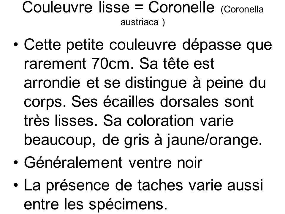 Couleuvre lisse = Coronelle (Coronella austriaca ) Cette petite couleuvre dépasse que rarement 70cm.