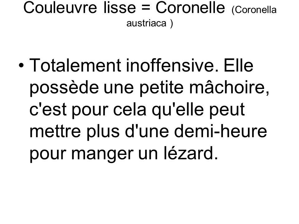 Couleuvre lisse = Coronelle (Coronella austriaca ) Totalement inoffensive.
