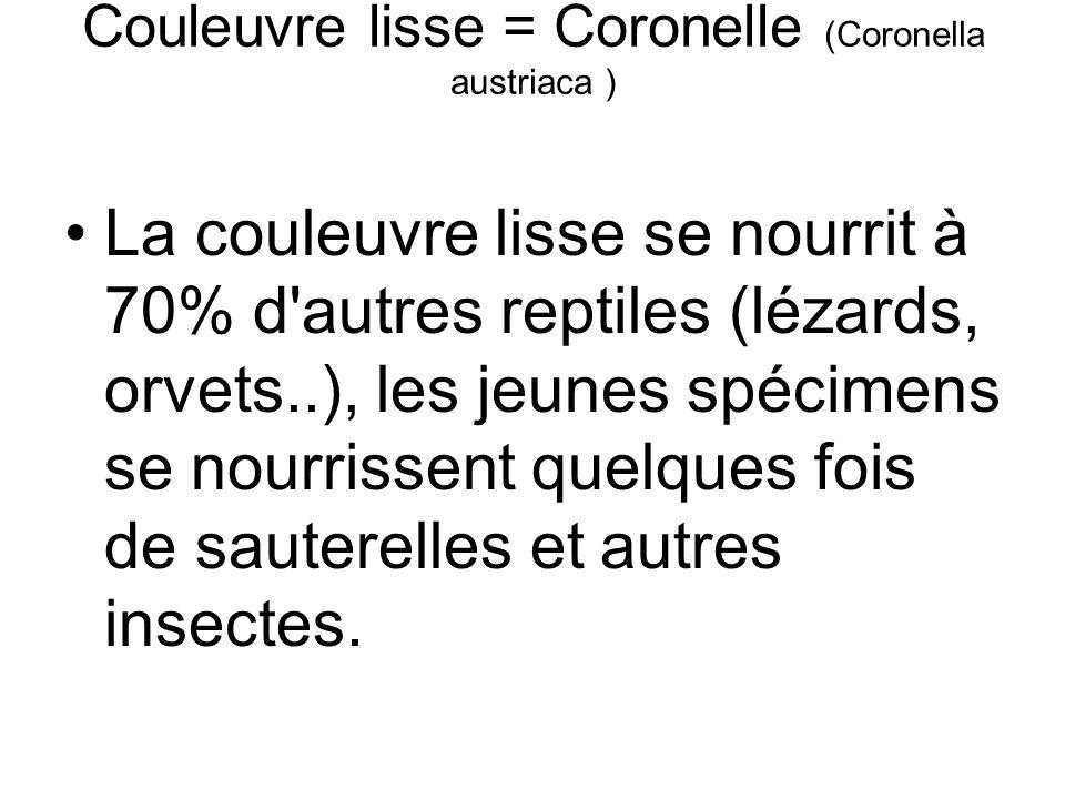 Couleuvre lisse = Coronelle (Coronella austriaca ) La couleuvre lisse se nourrit à 70% d autres reptiles (lézards, orvets..), les jeunes spécimens se nourrissent quelques fois de sauterelles et autres insectes.