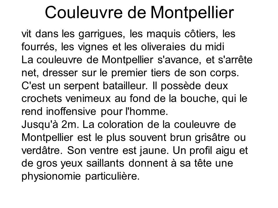 Couleuvre de Montpellier vit dans les garrigues, les maquis côtiers, les fourrés, les vignes et les oliveraies du midi La couleuvre de Montpellier s avance, et s arrête net, dresser sur le premier tiers de son corps.