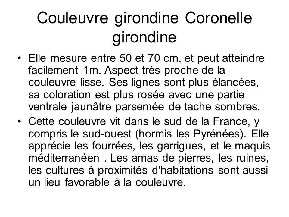 Couleuvre girondine Coronelle girondine Elle mesure entre 50 et 70 cm, et peut atteindre facilement 1m.