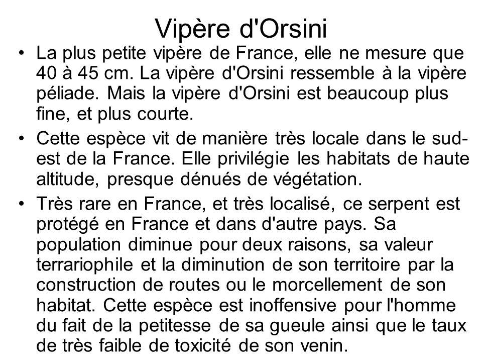 Vipère d Orsini La plus petite vipère de France, elle ne mesure que 40 à 45 cm.