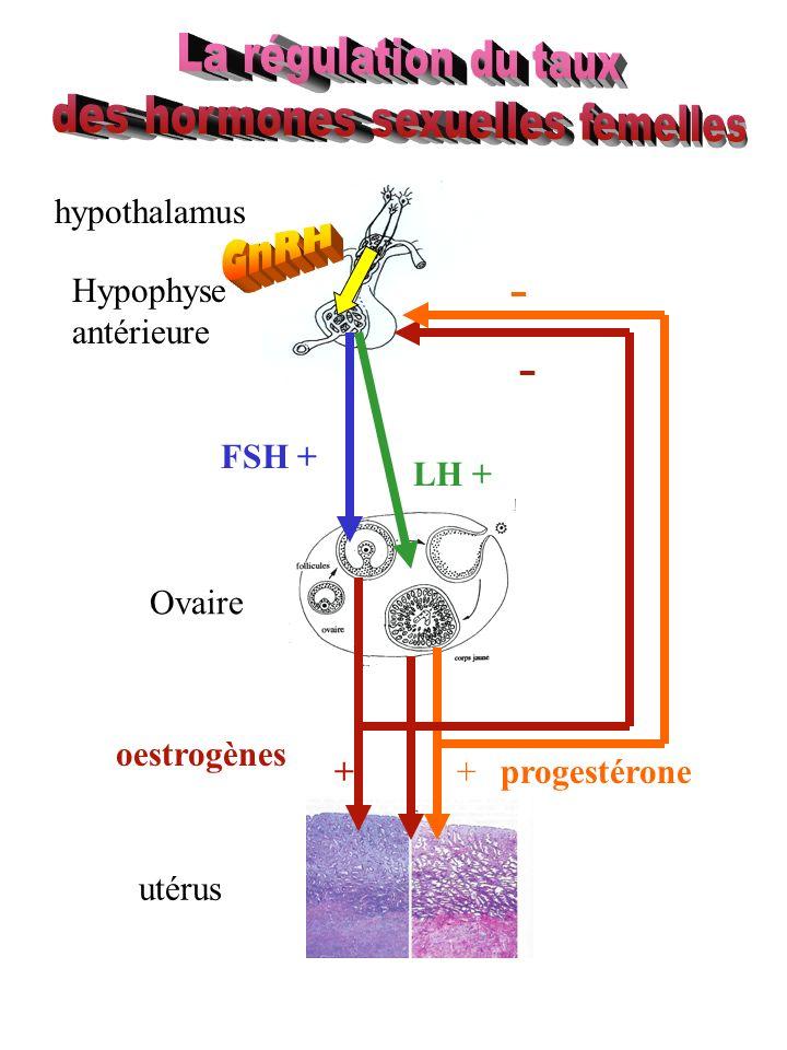 Hypophyse antérieure Ovaire utérus oestrogènes progestérone FSH + LH + ++ - - hypothalamus