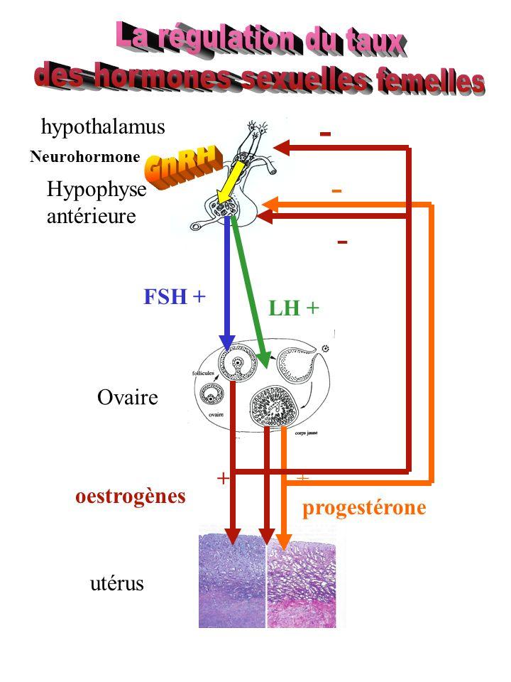 Hypophyse antérieure Ovaire utérus oestrogènes progestérone FSH + LH + ++ - - hypothalamus Neurohormone -