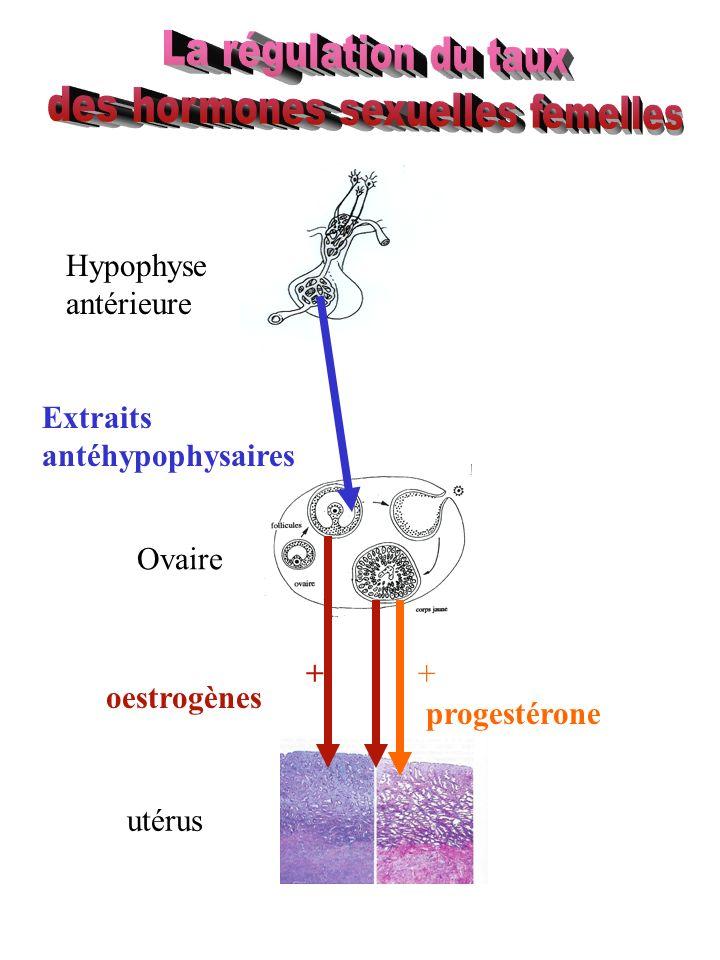 Hypophyse antérieure Ovaire utérus oestrogènes progestérone Extraits antéhypophysaires ++