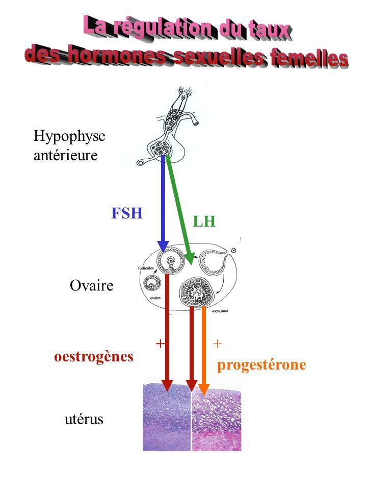 Hypophyse antérieure Ovaire utérus oestrogènes progestérone FSH + LH + ++ - ou + - hypothalamus Neurohormone -