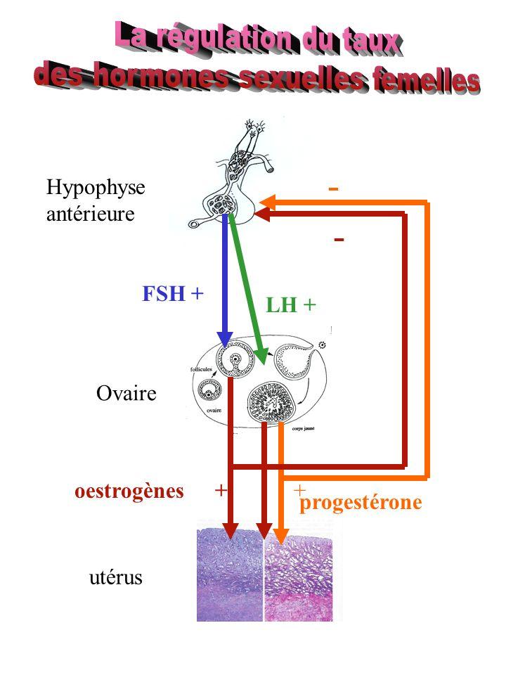 Hypophyse antérieure Ovaire utérus oestrogènes progestérone FSH + LH + ++ - -
