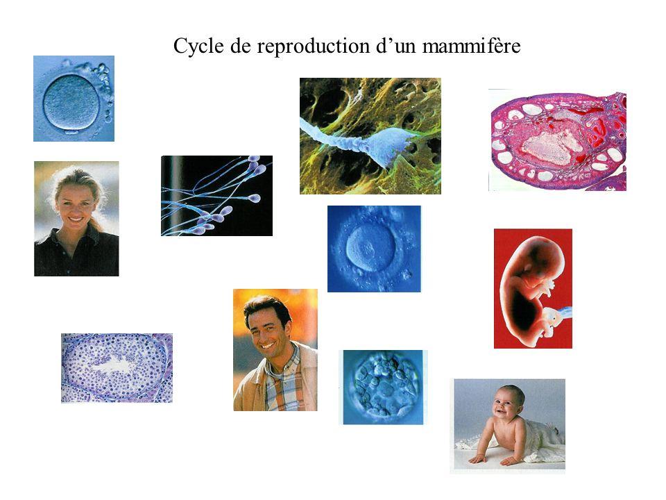 Cycle de reproduction dun mammifère