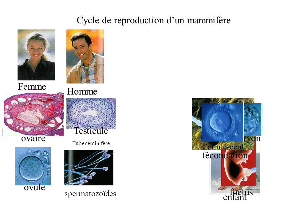 Cycle de reproduction dun mammifère enfant foetus spermatozoïdes fécondation embryon Homme Femme Testicule Tube séminifère Cellule-oeuf ovaire ovule