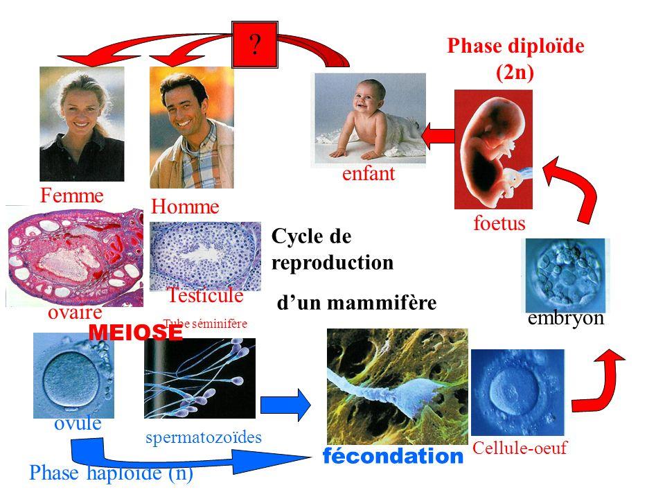 Cycle de reproduction dun mammifère enfant foetus spermatozoïdes fécondation embryon Homme Femme Testicule Tube séminifère Cellule-oeuf ovaire ovule ?