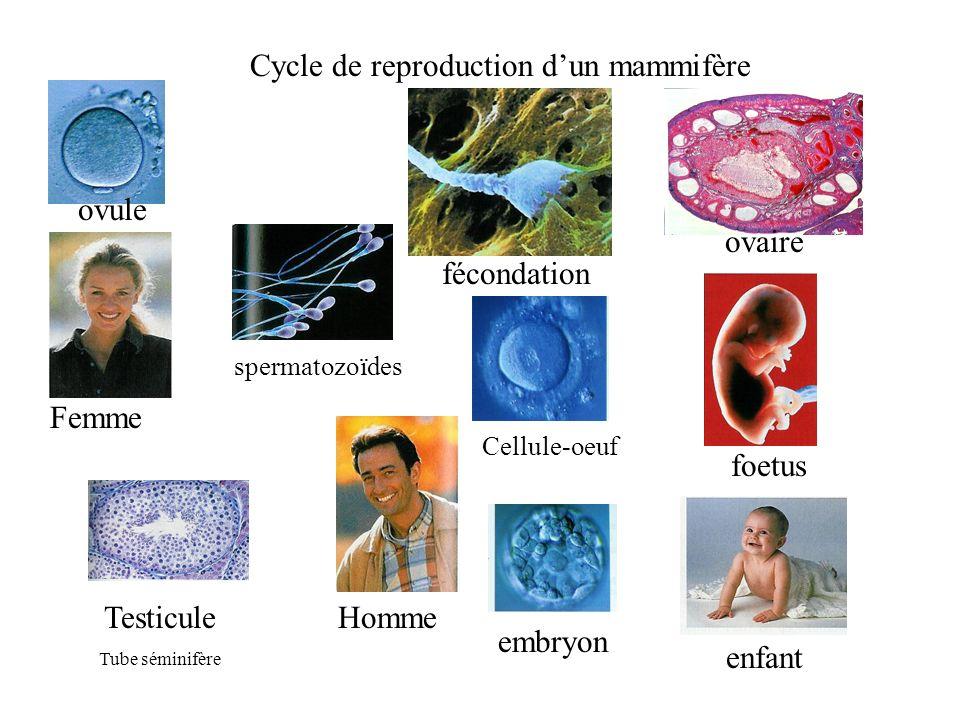 Femme Homme enfant foetus spermatozoïdes fécondation embryon Testicule Tube séminifère Cellule-oeuf ovaire ovule