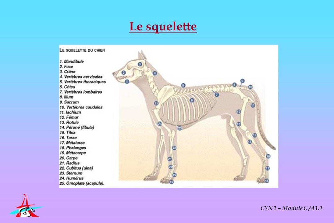 Physiologie du chien de travail 1- Rappels sur les grandes fonctions physiologiques CYN 1 – Module C /A1.1 2- Spécificités physiologiques de leffort chez le chien 3- Conséquences pratiques : préparation physique du chien 4- Connaître et prévenir les affections spécifiques