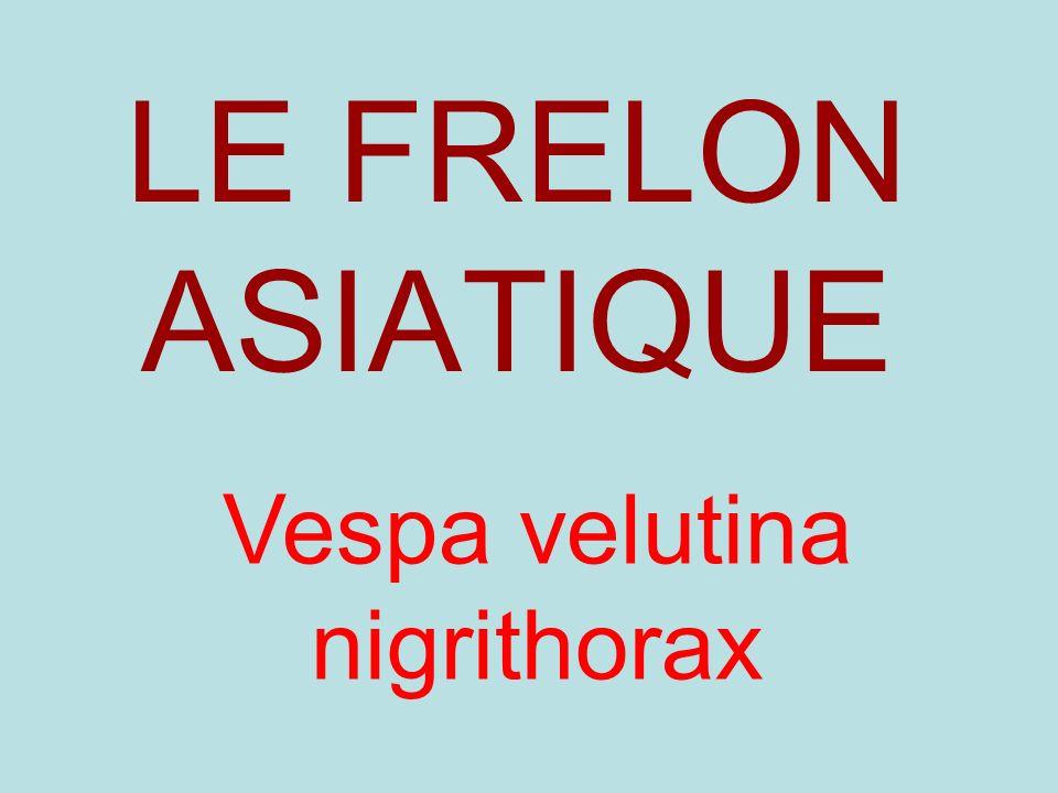 LE FRELON ASIATIQUE Vespa velutina nigrithorax