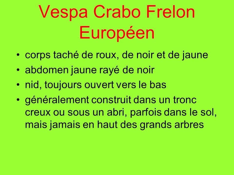 Vespa Crabo Frelon Européen corps taché de roux, de noir et de jaune abdomen jaune rayé de noir nid, toujours ouvert vers le bas généralement construi