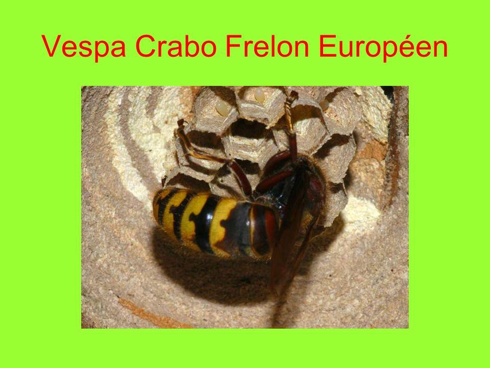 Vespa Crabo Frelon Européen