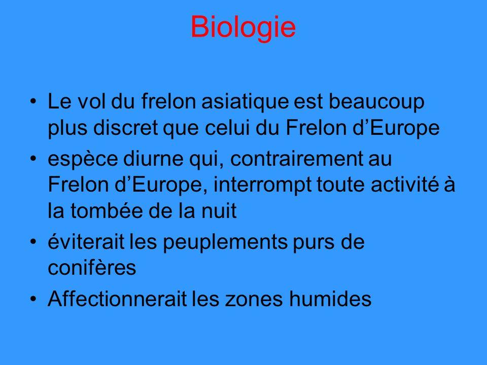 Le vol du frelon asiatique est beaucoup plus discret que celui du Frelon dEurope espèce diurne qui, contrairement au Frelon dEurope, interrompt toute