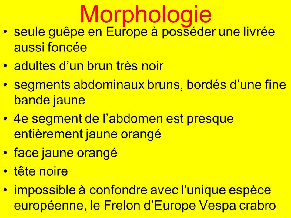 Morphologie seule guêpe en Europe à posséder une livrée aussi foncée adultes dun brun très noir segments abdominaux bruns, bordés dune fine bande jaun