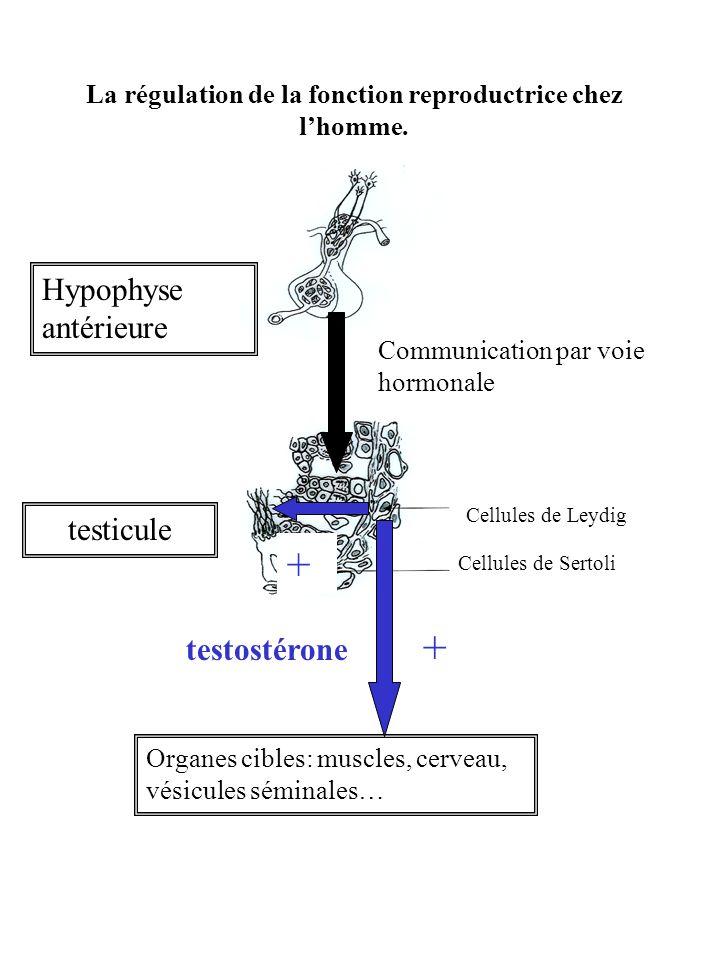 Expérience 3 Linjection quotidienne de 4 mg de FSH ( molécule synthétisée par lhypophyse) permet de rétablir la production de spermatozoïdes mais pas celle de testostérone.