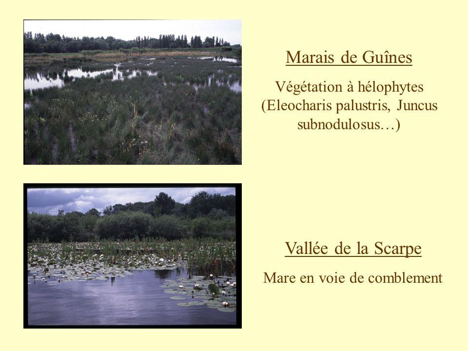 Marais de Guînes Végétation à hélophytes (Eleocharis palustris, Juncus subnodulosus…) Vallée de la Scarpe Mare en voie de comblement