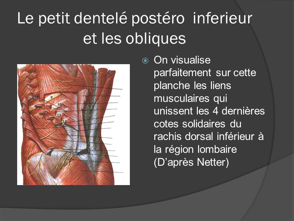 Le petit dentelé postéro inferieur et les obliques On visualise parfaitement sur cette planche les liens musculaires qui unissent les 4 dernières cote